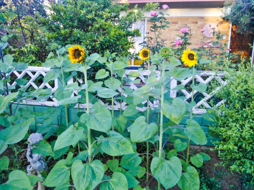 sunflowersburst